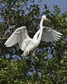 Great Egret (Ardea alba) - Flickr - Lip Kee (1).jpg
