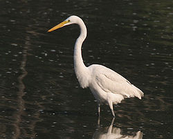Great Egret (Casmerodius albus)- Non-breeding plumage in Kolkata W2 IMG 4341.jpg