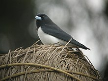 Great Woodswallow.jpg