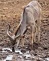 Greater Kudu (Tragelaphus strepsiceros) young male drinking ... (50111777728).jpg