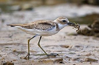 Greater Sand Plover.jpg