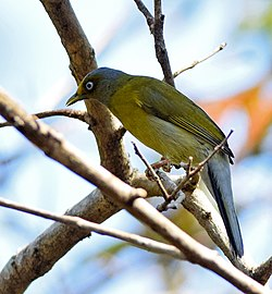 Grey-headed Bulbul, Karnataka 1.jpg