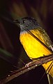 Grey-headed Tanager (Eucometis penicillata) (35979905474).jpg