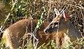 Grey Brocket Deer (Mazama gouazoubira) male ... (48429847506).jpg