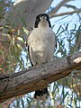 Grey Butcherbird (28204105425).jpg