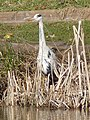 Grey Heron beside Woodstock Pool - geograph.org.uk - 1723816.jpg