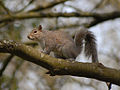 Grey Squirrel CNP 34171 (6927823934).jpg