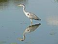 Grey heron (393955984).jpg