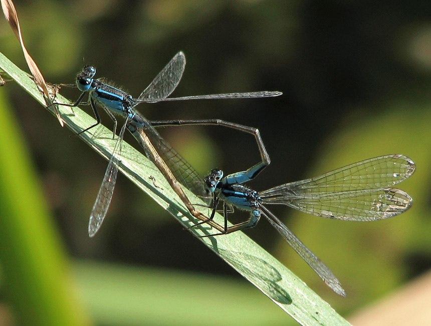 Große Pechlibelle Paarungsrad