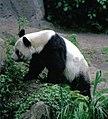 Großer Panda Bao Bao Berlin W 11.jpg