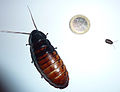 Gromphadorhina portentosa size comparison between an adult (female) and a newborn.jpg