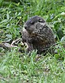 Groundhog (47852810631).jpg