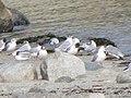 Group of Bonaparte's Gulls.jpg