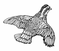 Grouse in Flight.png