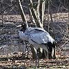 Grus nigricollis -Bronx Zoo-8-3c.jpg