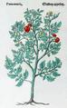Gulden appelen 471 Dodoens 1554.png