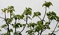 Gyrocarpus americanus in Keesaraguda, AP W IMG 9140.jpg