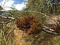 H20130601-8515—Phoradendron juniperinum—Walker Ridge (9233604446).jpg