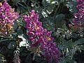H20140410-1759—Lupinus sericatus—RPBG (13940711517).jpg