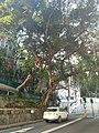 HKU 港大 near 香港島 半山區 Mid-Levels 般咸道 Bonham Road 老榕樹 old banyan trees May 2018 LGM 03.jpg