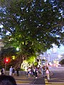 HK 尖沙咀 TST 梳士巴利道 Salisbury Road tree n visitors evening Canton Road October 2016 DSC.jpg