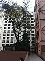 HK Mid-levels 梁輝臺 Leung Fai Terrace tree Jan-2011.jpg