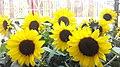 HK MongKok Flower Market Road Yellow Daisy Sunflowers April 2015 RedMi.jpg