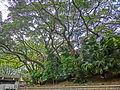 HK TST 尖沙咀 Haiphong Road 海防道 36 Camphora tree Mar-2013.JPG