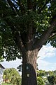 HL-068 Quercus CF9A1687.jpg