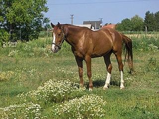 Gidran horse breed