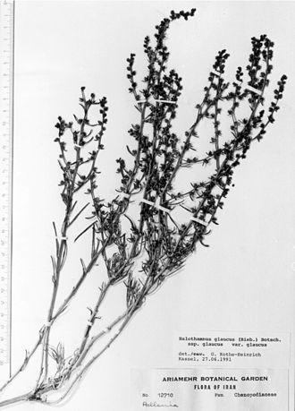 Halothamnus glaucus - Image: Halothamnus glaucus, herbarium sheet