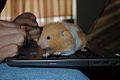 Hamster120.jpg