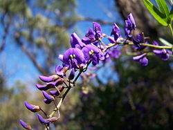 meaning of hardenbergia