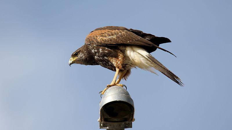 File:Harris's Hawk (Parabuteo unicinctus) (16689999239).jpg