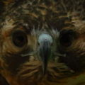 Hawk face wildlife 45 - West Virginia - ForestWander.jpg