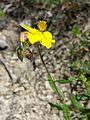 Helianthemum nummularium subsp. obscurum sl10.jpg