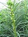 Helianthus angustifolius First Light 0zz.jpg