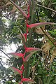 Heliconia chartacea (20579264895).jpg