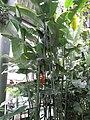 Heliconia rostrata, Osaka, Japan - 20080614-02.jpg