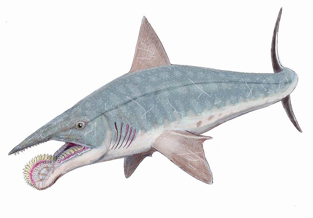 Tiburón con trompa de dientes es un misterio: Helicoprion bessonovi ...