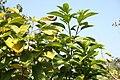 Helicteres guazumifolia 3zz.jpg