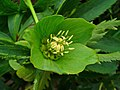 Helleborus viridis 003.JPG