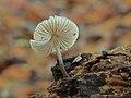 Helmmycena (Mycena galericulata) (d.j.b.) 06.jpg