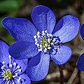 Hepatica Flower 3430.jpg