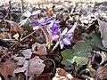 Hepatica nobilis sl2.jpg