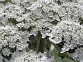 Heracleum mantegazzianum R.H. 12.jpg