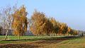 Herbstliche Birken.JPG