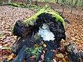 Hericium coralloides TP01 Buchenwald Serrahn Germany.jpg