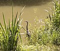 Heron, Kennet and Avon Canal. - panoramio.jpg