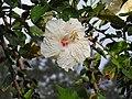 Hibiscus rosa sinensis hybrid-41-yercaud-salem-India.jpg